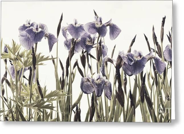 Flowering Plant Greeting Cards - Iris In The Park Greeting Card by Priska Wettstein