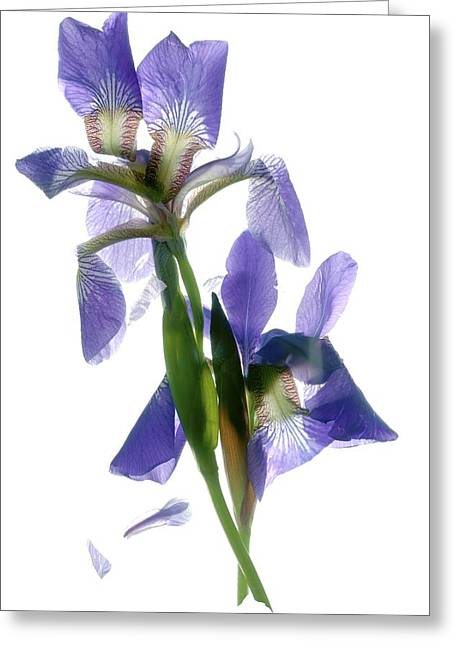 Purple And Green Greeting Cards - Iris Greeting Card by Julia McLemore