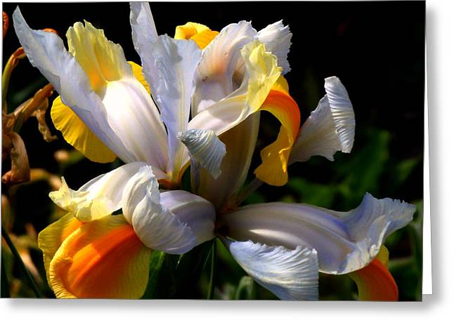 Colorful Flowers Greeting Cards - Iris Greeting Card by Rona Black