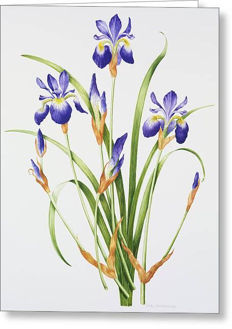 Flower Still Life Prints Greeting Cards - Iris sibirica Greeting Card by Sally Crosthwaite