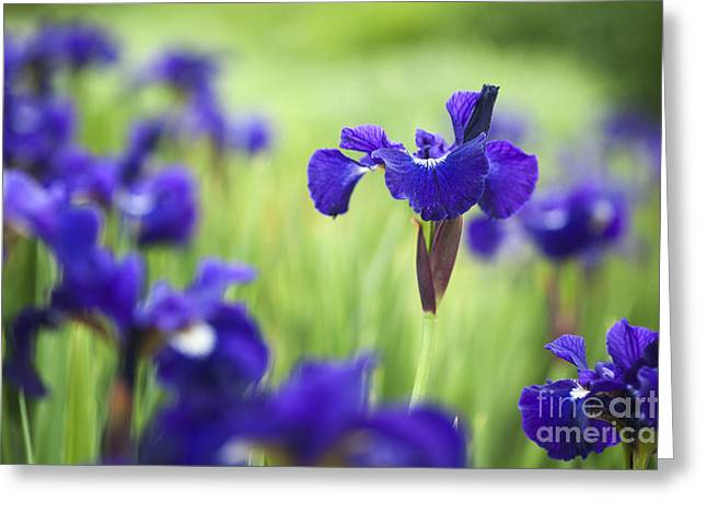 Stigma Greeting Cards - Iris sibirica Shirley Pope Greeting Card by Tim Gainey