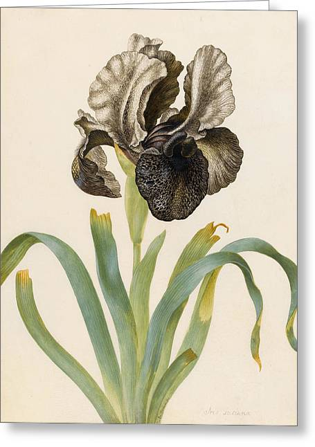 Flower Blooms Greeting Cards - Iris Susiana Greeting Card by Maria Sibylla Graff Merian