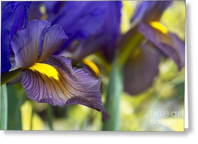 Iris x hollandica 'Eye of the Tiger' Greeting Card by Tim Gainey