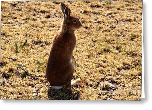 March Hare Greeting Cards - Irish Mountain Hare Greeting Card by Aidan Moran
