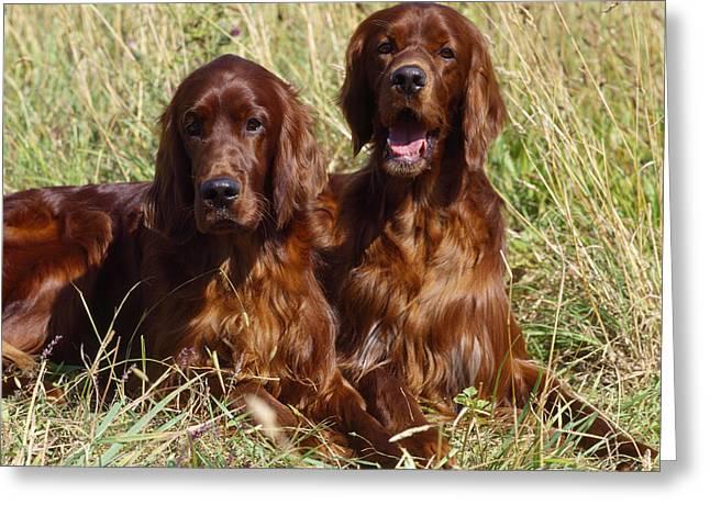 Irish Setter Greeting Cards - Irish Red Setter Dogs Greeting Card by John Daniels