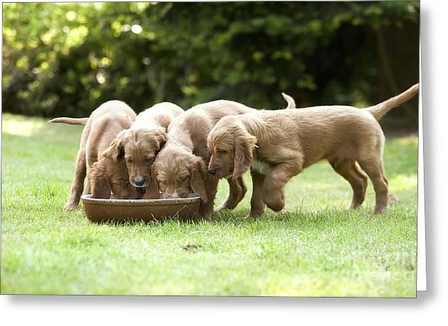 Irish Setter Greeting Cards - Irish Setter Puppies Greeting Card by Jean-Michel Labat