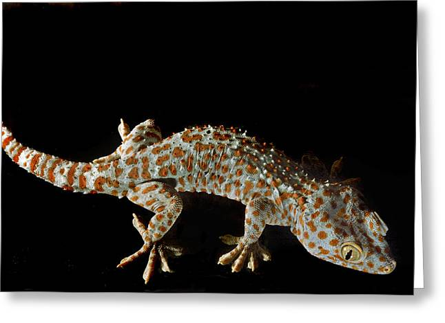 Gecko Print Greeting Cards - Isis. Tokay Gecko. Greeting Card by Chris  Kusik