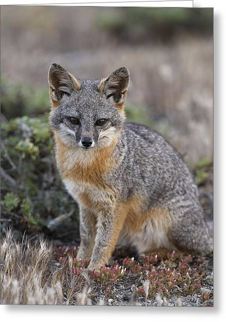 Island Fox California Greeting Card by Ch'ien Lee