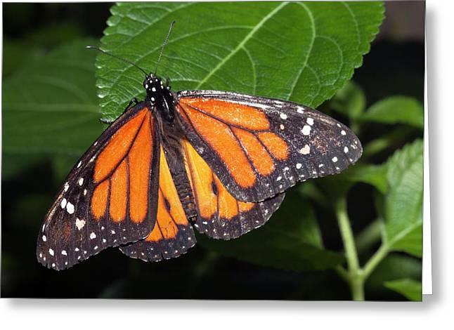 Ismenius Tiger Butterffly Greeting Card by Dirk Wiersma