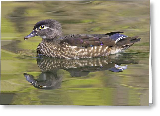 Hunting Bird Greeting Cards - Isnt She Lovely - Female Wood Duck Greeting Card by Ram Vasudev
