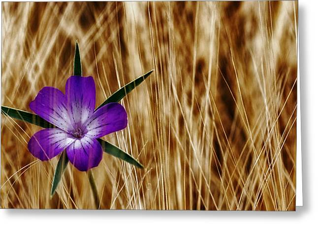 Wheat Art Greeting Cards - Isolated Beauty Greeting Card by Mountain Dreams