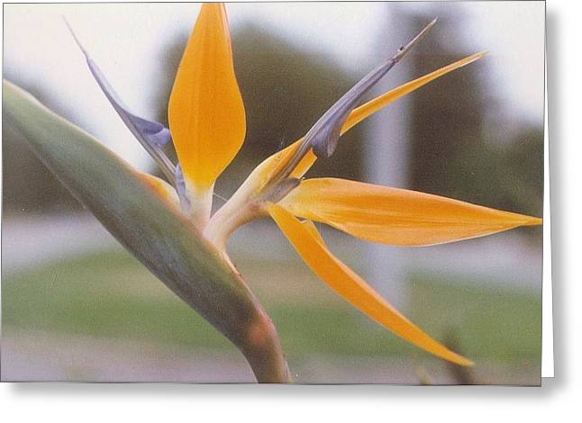 Robert Bray Greeting Cards - Isolated Bird of Paradise Greeting Card by Robert Bray