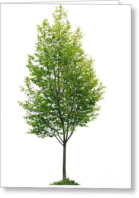 Tall Trees Greeting Cards - Isolated young tree Greeting Card by Elena Elisseeva