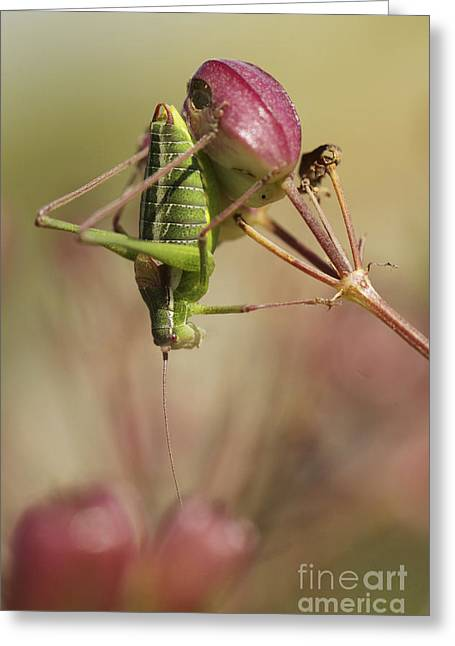 Isophya Savignyi Bush Cricket Greeting Card by Alon Meir