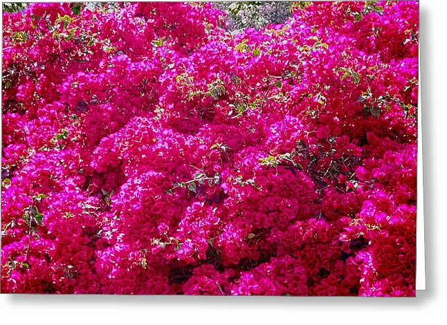 Ovates Greeting Cards - Israels Pink Bouganvillae glabra Greeting Card by Sandra Pena de Ortiz