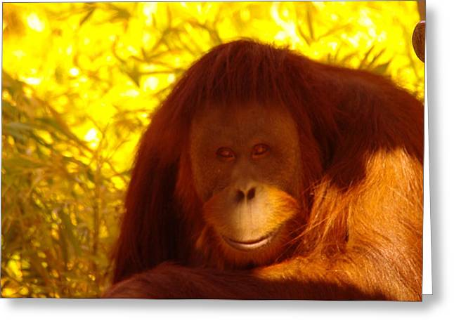 Orangutan Photographs Greeting Cards - It Is Hard Being A Primate  Greeting Card by Jeff  Swan