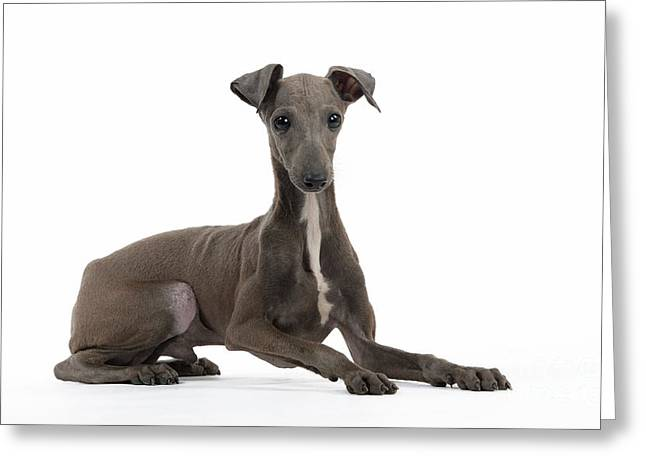 Toy Dog Greeting Cards - Italian Greyhound Greeting Card by Jean-Michel Labat