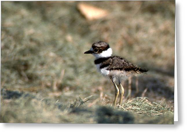 Photos Of Birds Greeting Cards - Its A Killdeer Babe Greeting Card by Skip Willits