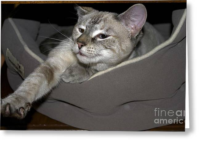 Pictures Of Cats Greeting Cards - Its A Stretch Greeting Card by Skip Willits