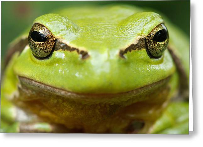 Frogs Greeting Cards - Its Not Easy Being Green _ Tree Frog Portrait Greeting Card by Roeselien Raimond