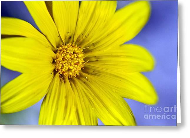 Bitsy Greeting Cards - Itsy Bitsy Yellow Desert Flower Greeting Card by Bryan Freeman
