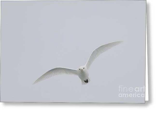 Norwegian Sea Greeting Cards - Ivory Gull In Flight Greeting Card by John Shaw