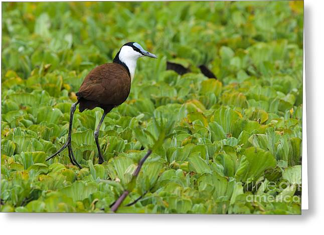 Lettuce Greeting Cards - Jacana Trotting On Water Lettuce Greeting Card by John Shaw