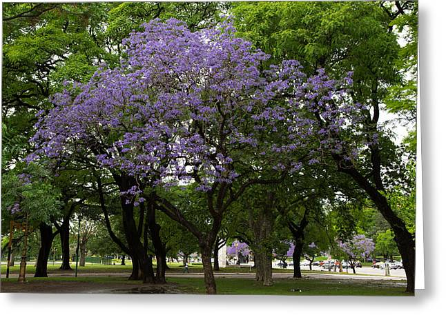Buenos Aires Art Greeting Cards - Jacaranda in the Park Greeting Card by John Daly