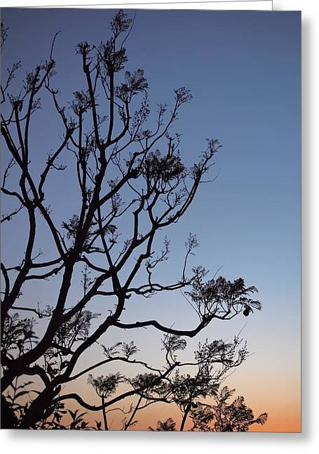 Tree Art Greeting Cards - Jacaranda Sunset Greeting Card by Rona Black