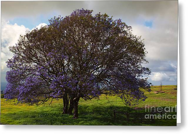 Lavendar Greeting Cards - Jacaranda Tree Greeting Card by Mike  Dawson