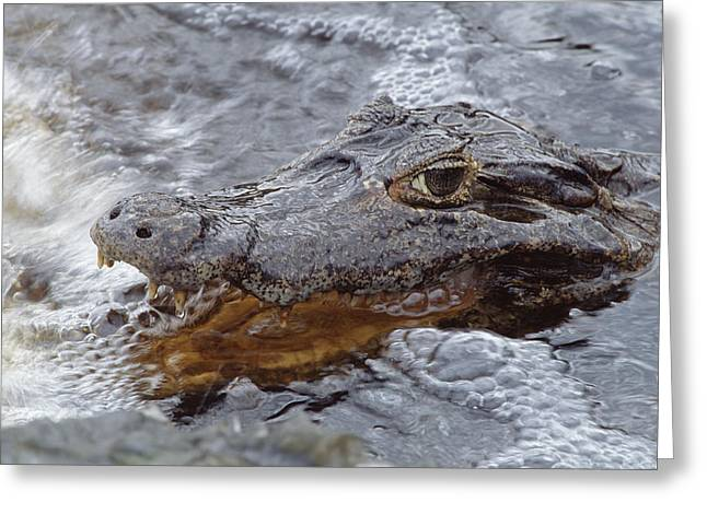 Paraguay Greeting Cards - Jacare Caiman Fishing  In Rushing River Greeting Card by Tui De Roy