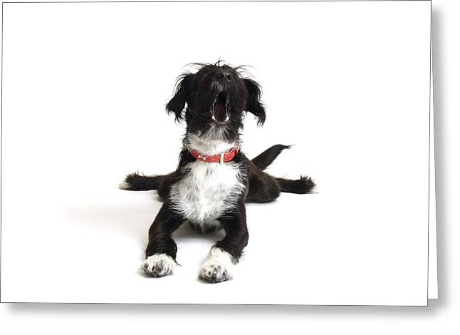 Pet Collar Greeting Cards - Jack-a-poo Puppy Barking Greeting Card by Gerry Pearce