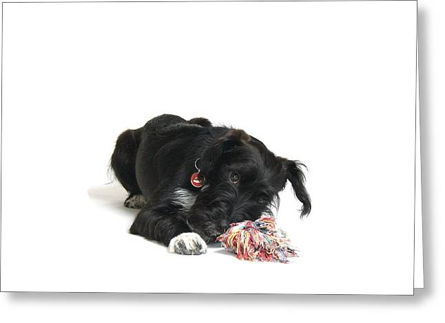 Gnawing Greeting Cards - Jack-a-poo Puppy Greeting Card by Gerry Pearce