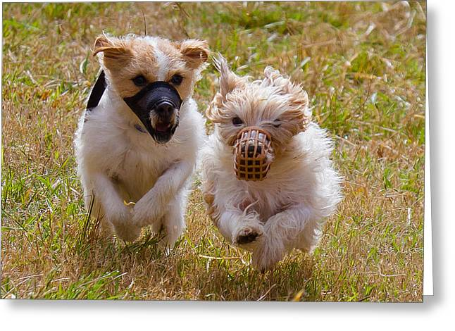Mutt Jack Greeting Cards - Jack and Russell Greeting Card by Robert L Jackson
