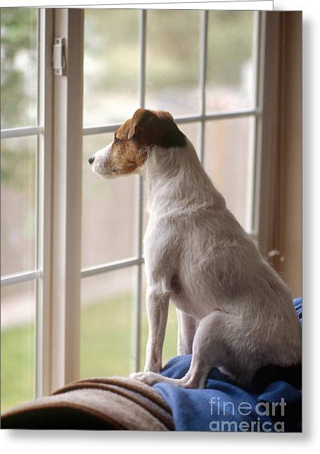 Dog On Couch Greeting Cards - Jack Russell At Window Greeting Card by Jim Corwin