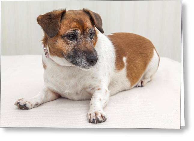 Jack Russell Terrier Greeting Cards - Jack Russell Portrait Greeting Card by Colin and Linda McKie