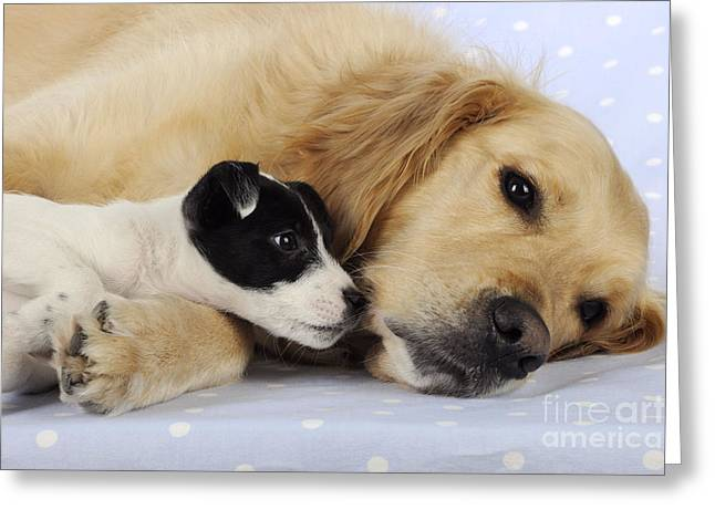 Dog Head Greeting Cards - Jack Russell Puppy And Retriever Greeting Card by John Daniels