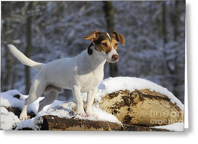 Dog In Snow Greeting Cards - Jack Russell Terrier In Snow Greeting Card by John Daniels