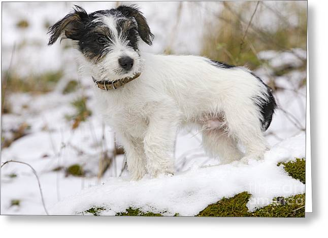 Jack Russell Terrier In Snow Greeting Card by M. Watson