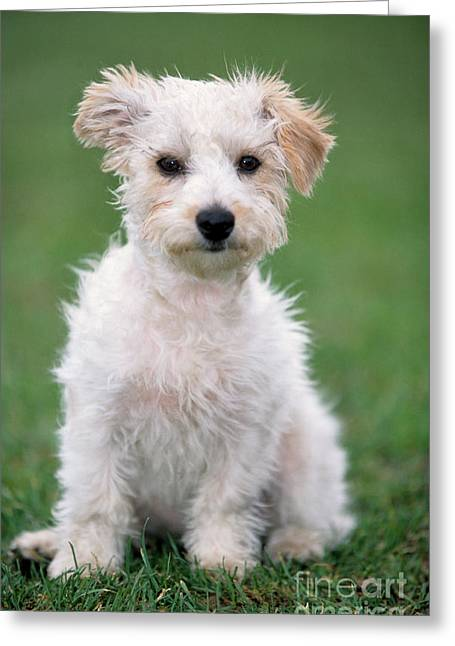 Mutt Jack Greeting Cards - Jack Russell Terrier Mix Puppy Greeting Card by Johan De Meester
