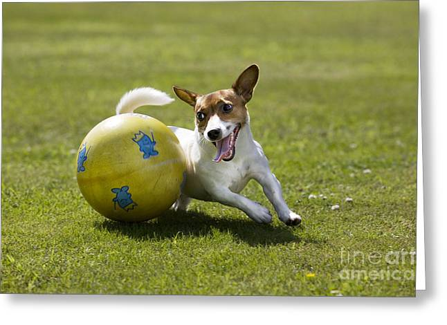 Dog Playing Ball Greeting Cards - Jack Russell Terrier Plays With Ball Greeting Card by Johan De Meester