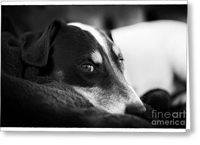 Film Noir Greeting Cards - Jack Russell Terrier Portrait in Black and White Greeting Card by Natalie Kinnear