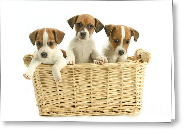 Best Friend Greeting Cards - Jack Russell Terrier Puppies Greeting Card by Jean-Michel Labat