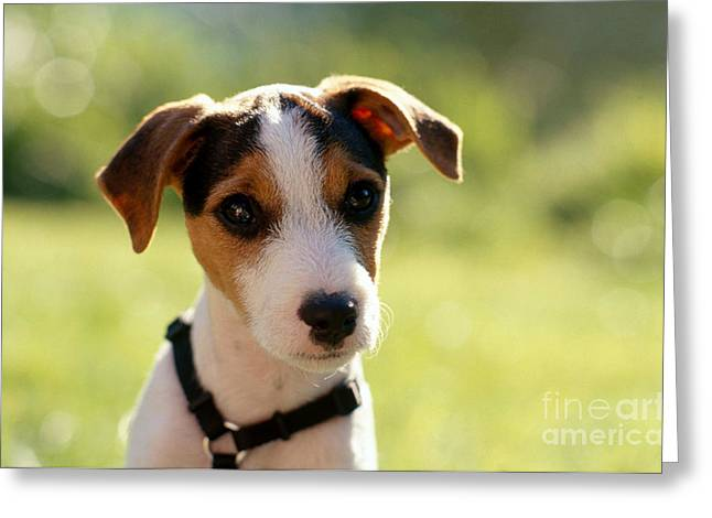 Bred Greeting Cards - Jack Russell Terrier Puppy Greeting Card by Jim Corwin