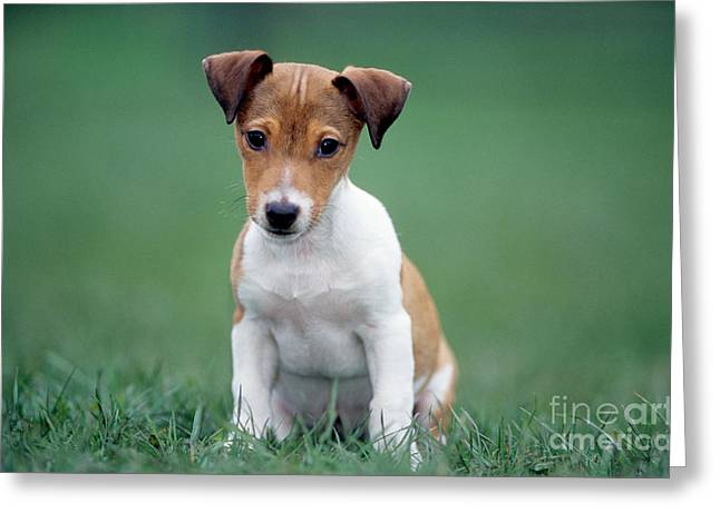 Puppy Sitting Greeting Cards - Jack Russell Terrier Puppy Greeting Card by Johan De Meester