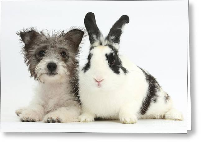 Westie Pups Greeting Cards - Jack Russell X Westie Pup With Rabbit Greeting Card by Mark Taylor