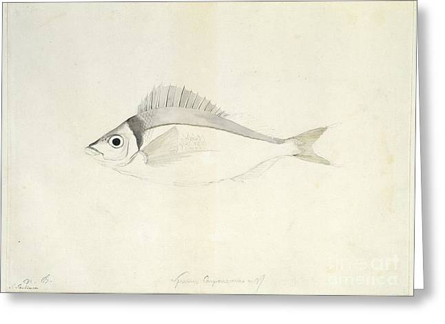 Jackass Greeting Cards - Jackass Morwong, 18th Century Greeting Card by Natural History Museum, London