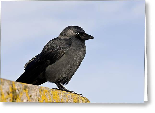 Jackdaws Greeting Cards - Jackdaw Greeting Card by Science Photo Library