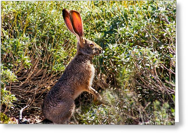 Hare Greeting Cards - Jackrabbit Greeting Card by Robert Bales