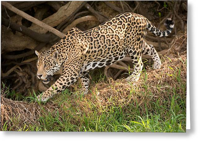 Panthera Greeting Cards - Jaguar Panthera Onca Foraging Greeting Card by Panoramic Images